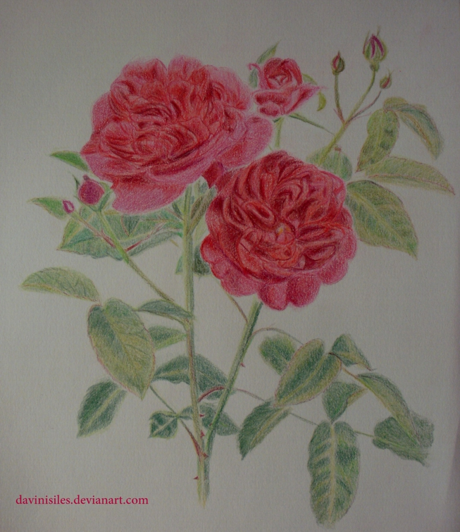 English Rose - Darcey Russell